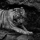 B&W tiger by Perggals© - Stacey Turner