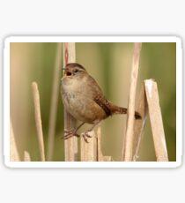 Marsh Wren's Song Sticker