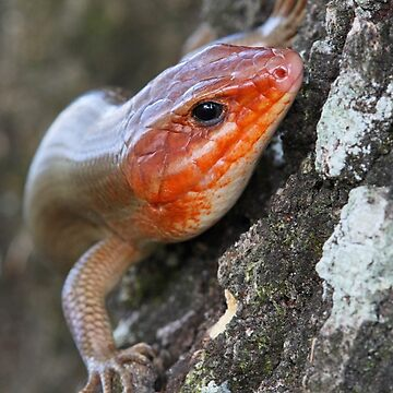 Broad-Headed Skink by WorldDesign