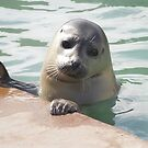 Young Seal  by FrancesArt