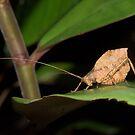 Leaf-mimic katydid, Peru by Erik Schlogl