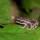 Poison dart frog, Peru by Erik Schlogl