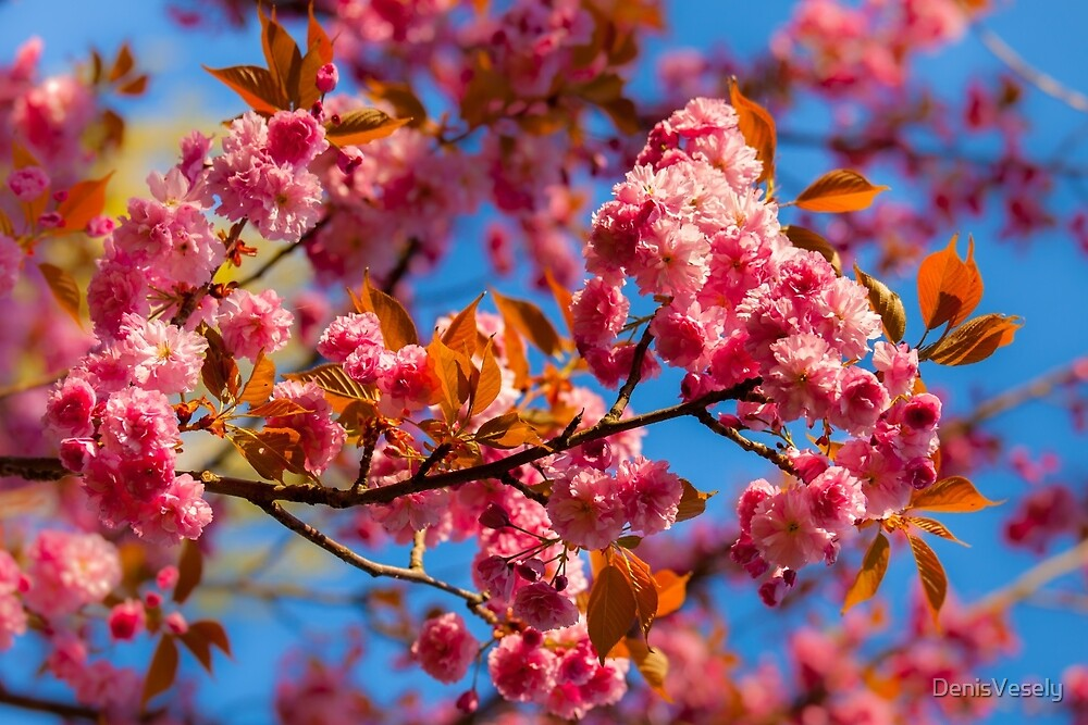 Chinese cherry in bloom by DenisVesely