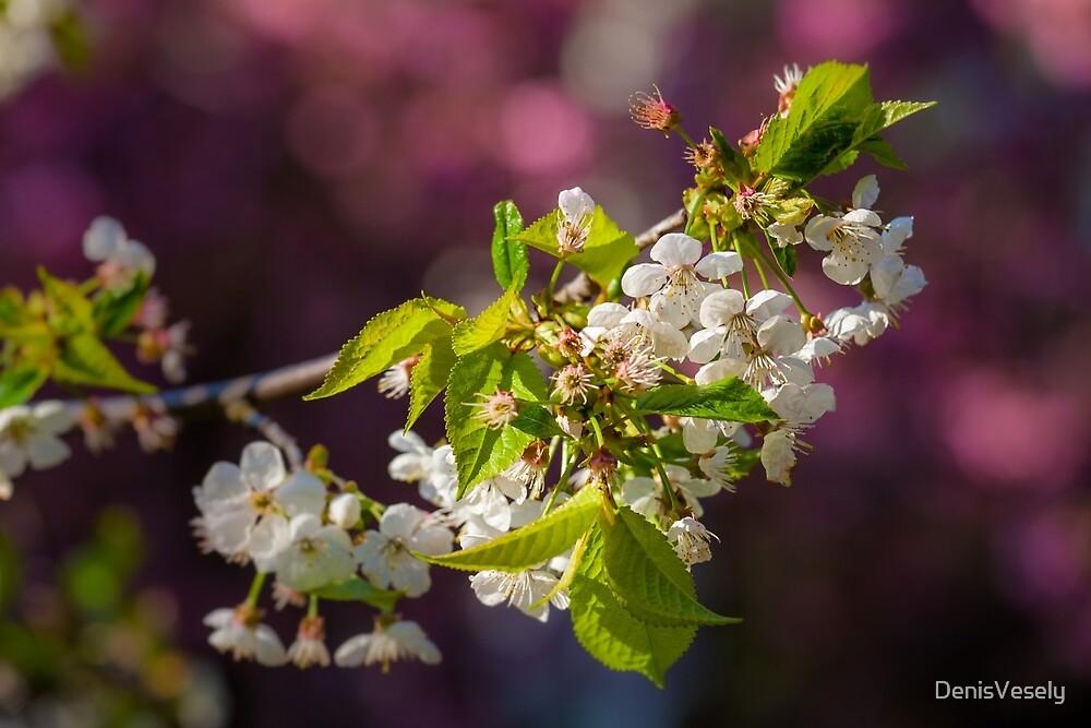 Cherry in bloom by DenisVesely