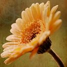 Golden Gerbera by OpalFire