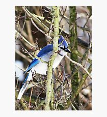 The Birds - sly blue jay (2011) Photographic Print