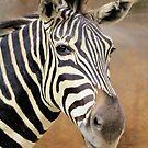 Zebra Portrait by Rosalie Scanlon