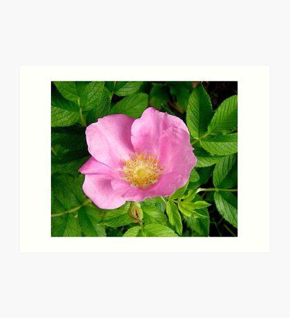 Wild Pink Rose Art Print