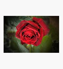 A Red, Red Rose Photographic Print