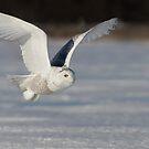 Snowy Owl flyby by Jim Cumming