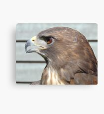 Melanistic Red Tailed Hawk Canvas Print