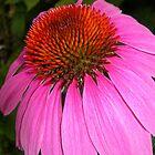 Coneflower Closeup by Kathleen Brant