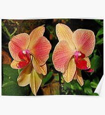 Phalaenopsis Poster