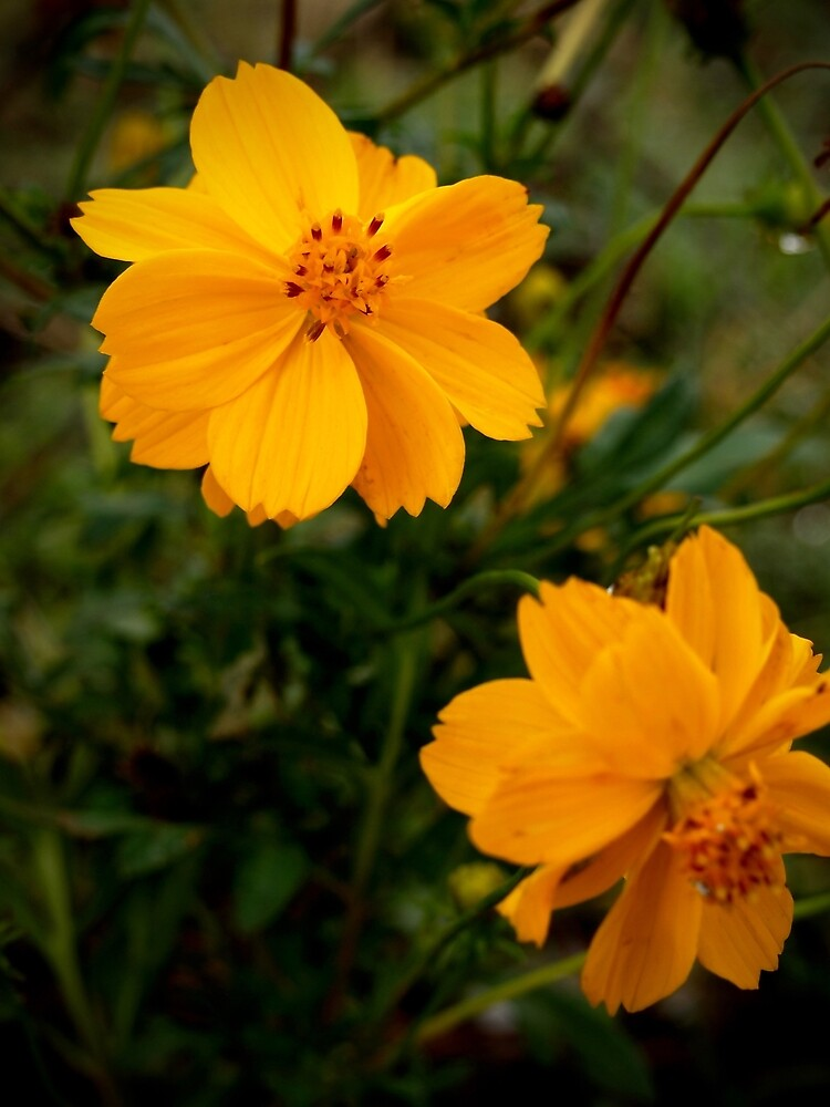 Golden Coreopsis by Douglas E.  Welch