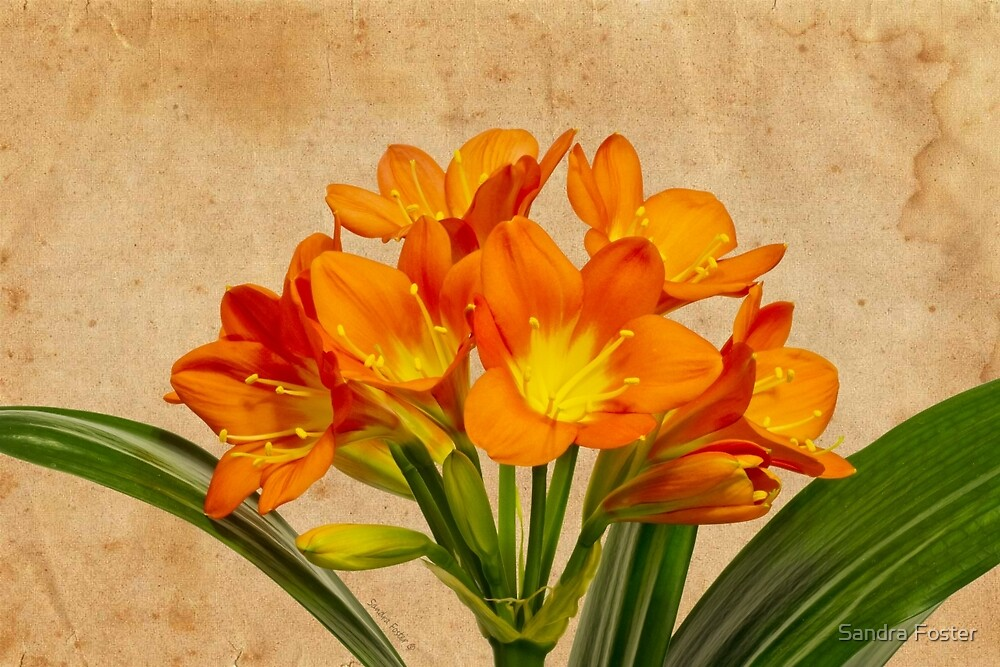Orange Clivia Lily Blossoms - Textured  by Sandra Foster