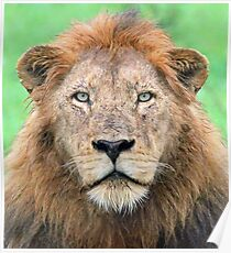 A real lion of the wild! Poster