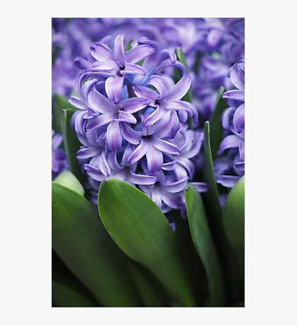Hyacinth Food of Thy Soul Photographic Print