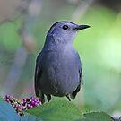 Catbird by jozi1