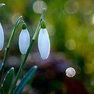 Snowdrops by Martin Griffett