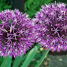 Allium - Head to head by Arie Koene