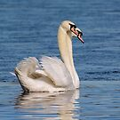 Mute Swans by M S Photography/Art