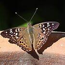 Hackberry butterfly by Alice Kahn