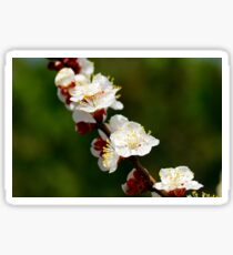 A Sprig of Apricot Blossoms 1 Sticker