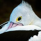 Shy Pelican... by Tracie Louise