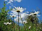 Oxeye Daisies Wildflowers - Leucanthemum vulgare by MotherNature