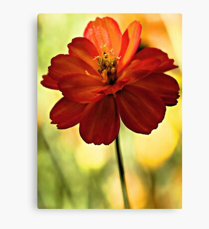 Coreopsis - In a Soft Morning Light Canvas Print