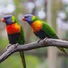 Rainbow Lorikeet by Kathryn Potempski