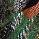 Peacock Feathers by CarolM