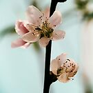 Peach Blossom by krissihart