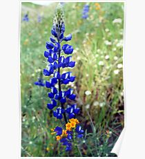 Spike Lupine Poster