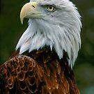 Eagle Posing  by Kathryn Potempski