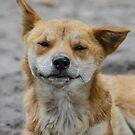 Smiling Dingo  by Kathryn Potempski