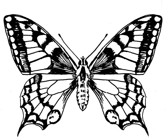 Quot Swallowtail Butterfly Ink Pen Drawing Quot Poster By