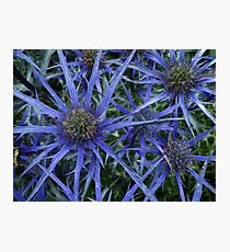 BLUE SPIKY SEA HOLLY Photographic Print