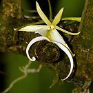 The Elusive Ghost Orchid Flower by Jason Pepe