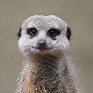Meerkat Portrait by Jenny Brice