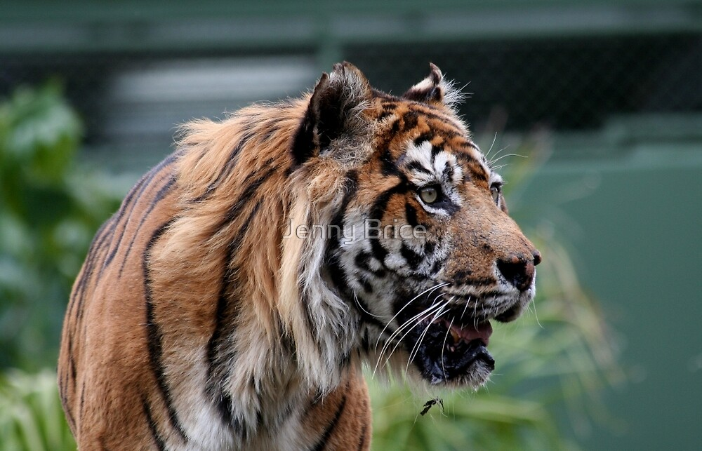 Elderly Bengal Tiger by Jenny Brice