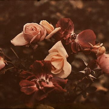 Roses of Yesteryear by tillymagoo