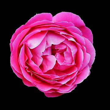Pink Rose by evelynlaeschke