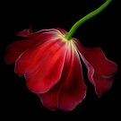 The Red Tulip by EbyArts