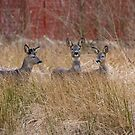 Roe Deer by M S Photography/Art