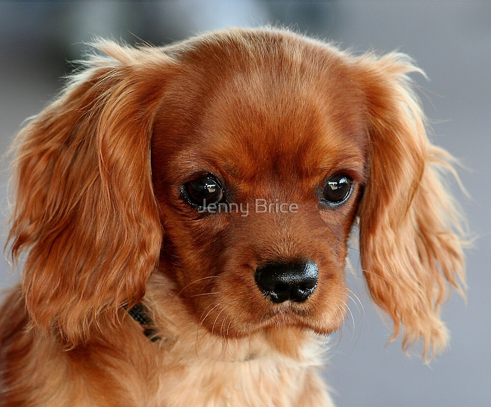 Quot A Ruby Cavalier Puppy Quot By Jenny Brice Redbubble