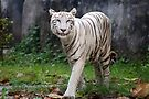 White Bengal Tiger by Carole-Anne