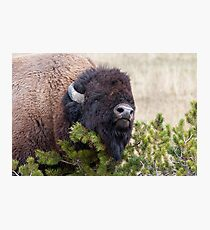 Bull Bison Photographic Print