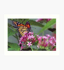 Monarch in pink ixora Art Print