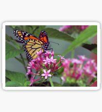 Monarch in pink ixora Sticker